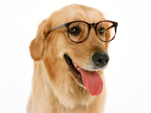 Golden retriever Brille