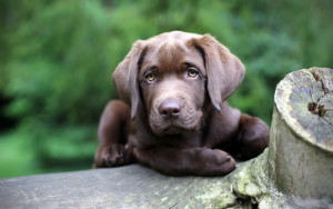 cute-lab-puppy-1920x1200