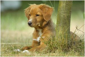 nova-scotia-duck-tolling-retriever-junghund-4028f912-6779-4e7f-94cd-bb69c0cc649e